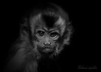 フサオマキザル:Tufted capuchin - 動物園の住人たち写真展(はなけもの写眞店)