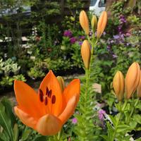 秋植え球根 - 花の庭づくり庭ぐらしガーデニングキララ