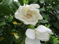 白い花 - 季節の写真