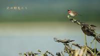 ノゴマ - 北の野鳥たち