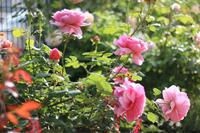 3年目のプリンセスアレキサンドラケント - my small garden~sugar plum~