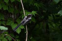 エナガ:幼鳥 - 赤いガーベラつれづれの記