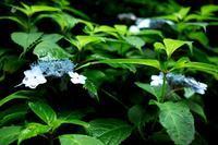 ヤマアジサイと庭のオタフクアジサイ・・・7月は、てぬき二番草取。 - 朽木小川より 「itiのデジカメ日記」 高島市の奥山・針畑からフォトエッセイ