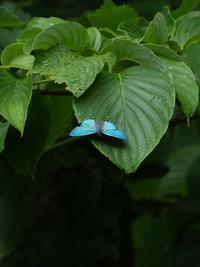 オオミドリのテリ張 - 蝶超天国