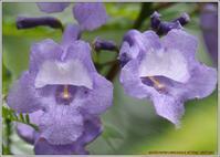 今年も咲いたジャカランダそして・・・ - 野鳥の素顔 <野鳥と日々の出来事>