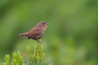 ギンザンマシコ以外も♪ - 北の大地で野鳥ときどきフライフィッシング
