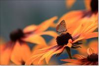 雨間に花に群がる蝶や昆虫 - ハチミツの海を渡る風の音