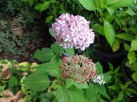 紫陽花(アナベル) - だんご虫の花