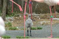 多摩動物公園ひな祭り~オオフラミンゴのヒナ - 続々・動物園ありマス。