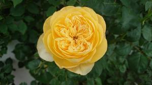 薔薇の2番花 - Rose & Mary