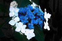 アジサイ 2 - 光 塗人 の デジタル フォト グラフィック アート (DIGITAL PHOTOGRAPHIC ARTWORKS)