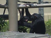ロジャー1才、ニイニ6才[京都市動物園] - a diary of primates
