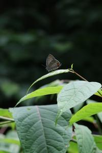初めての場所でメスアカのテリ張を観察 - 蝶超天国