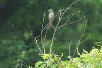 あまり撮らないヒヨドリ - 近隣の野鳥を探して