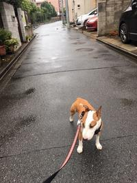 雨の朝散歩 - ミニチュアブルテリア ダージと一緒3
