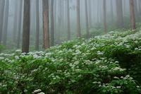 雨の日のコアジサイ大天井ヶ岳 - 峰さんの山あるき