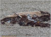 シロチドリの可愛い雛 - 野鳥の素顔 <野鳥と日々の出来事>