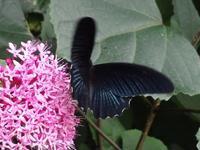 ナガサキアゲハダイミョウセセリ - Magnolia Lane