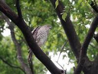 神社の森にツミがいた - コーヒー党の野鳥と自然 パート2