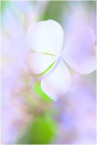 白い四葉のクローバー - HIGEMASA's Moody Photo