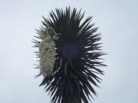 7/1と7/2のユッカ! - 手柄山温室植物園ブログ 『山の上から花だより』