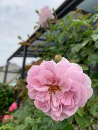 レイニーブルーも2番花 [2019/07/02] - 春&ナナと庭の薔薇