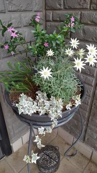 オージーポットも、もりもり - うちの庭の備忘録 green's garden