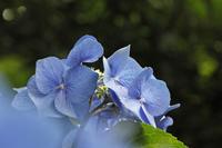 今日の六義園紫陽花は盛りを過ぎてます。 - みるはな写真くらぶ