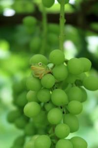 シャインが好きなアマガエル - ~葡萄と田舎時間~ 西田葡萄園のブログ