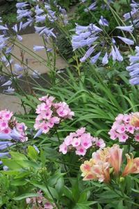 初夏の花フロックス - 光さんの日常