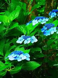 鎌倉明月院紫陽花 - 風の香に誘われて 風景のふぉと缶