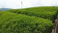 昨日通ったお茶畑 - がちゃぴん秀子の日記