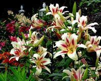 ユリの花と超巨大アザミ - 星の小父さまフォトつづり