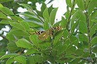 オオムラサキさびしい樹液酒場 - 蝶のいる風景blog