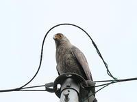 デイゴの季節・15!! - 季節の鳥達