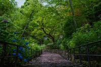 長谷寺(奈良)の紫陽花 - 鏡花水月
