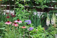 今年はエキナセアが調子良い - my small garden~sugar plum~
