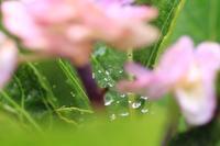 紫陽花とクモの糸についた雫ちゃん♪ - happy-cafe*vol.2