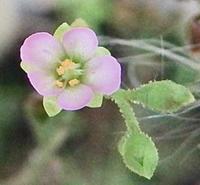 #食虫植物 『東海小毛氈苔』 Drosera tokaiensis subsp. tokaiensis - 自然感察 *nature feeling*