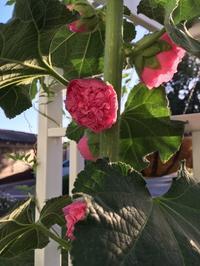蕾から花へータチアオイ、ダリア、トルコ桔梗 - アバウトな情報科学博士のアメリカ