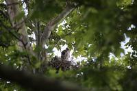 鷹の親子 - 南加フォト