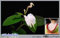 「花たち - 半化粧(ハンゲショウ)・・別名:半夏生」 - デジカメ散歩写真