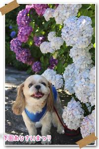 2019年6月15日伊豆下田あじさい祭り - 週末は、愛犬モモと永吉、拓海とお出かけ!Kimi's Eye