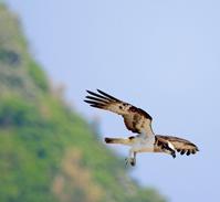 ミサゴコレクション - ゆるゆる野鳥観察日記