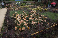バラ咲き誇る中之条ガーデンズ⑩ダーク&シックなガーデン - 風の彩り-2