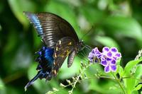 カラスアゲハ蝶 - 風のささやき