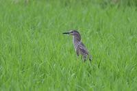 鳥見散歩 - 野の鳥  撮る録 in湘南