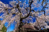 桜咲く奈良2019西光寺・城之山桜 - 花景色-K.W.C. PhotoBlog