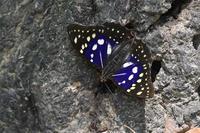 和歌山オオムラサキ - 蝶と自然の物語