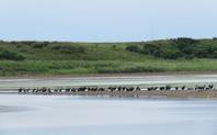 オジロワシに驚くウ - 湿原と海のそばで